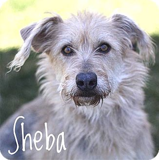 Sheba | Adopted Dog | South Haven, MI | Airedale Terrier ...
