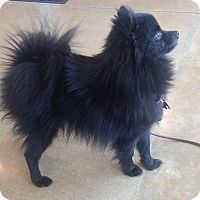 Adopt A Pet :: Lando - conroe, TX
