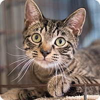 Domestic Shorthair Cat for adoption in Houston, Texas - Click