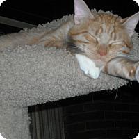 Domestic Shorthair Cat for adoption in Roseville, Minnesota - Leo