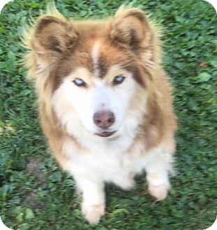 Siberian Husky Mix Dog for adoption in Indianapolis, Indiana - Rachel and Ben
