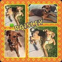 Dachshund Mix Puppy for adoption in Scottsdale, Arizona - Paisley