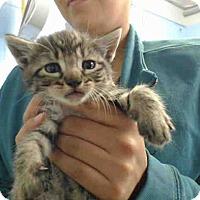 Domestic Shorthair Kitten for adoption in San Bernardino, California - URGENT on 9/13 San Bernardino