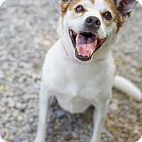 Jack Russell Terrier/Beagle Mix Dog for adoption in Plainfield, Connecticut - Muffy (Senior Discount)