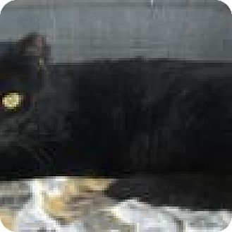 Domestic Shorthair Cat for adoption in Powell, Ohio - Zorro