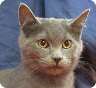 Domestic Shorthair Cat for adoption in Lloydminster, Alberta - Casper