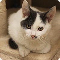 Domestic Shorthair Kitten for adoption in Naperville, Illinois - Manny