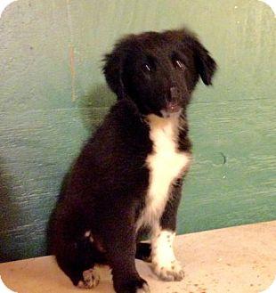 Chesapeake Bay Retriever/Border Collie Mix Puppy for adoption in Centralia, Illinois - Garfunkle