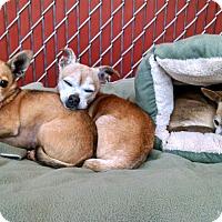 Adopt A Pet :: Cito - Seattle, WA