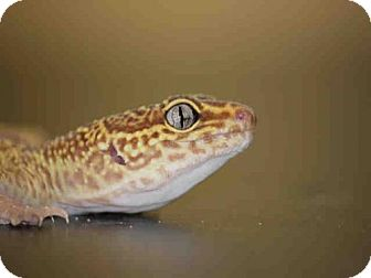 Gecko for adoption in Waterford, Virginia - SCALEY