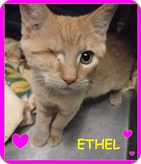 Domestic Shorthair Cat for adoption in Batesville, Arkansas - Ethel