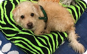 Poodle (Miniature)/Terrier (Unknown Type, Small) Mix Dog for adoption in Phoenix, Arizona - Cubbie