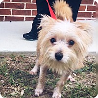 Terrier (Unknown Type, Small) Mix Puppy for adoption in New York, New York - Patsy Cline