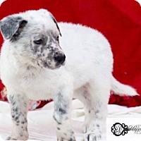 Collie Mix Puppy for adoption in DeForest, Wisconsin - Toby
