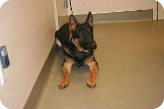 Shepherd (Unknown Type) Mix Dog for adoption in Wildomar, California - Coby
