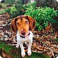 Adopt A Pet :: Daisy Hacker - Brownsboro, AL