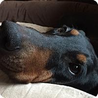 Adopt A Pet :: Cowgirl - Arlington, VA