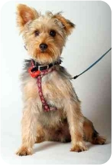 Yorkie, Yorkshire Terrier Puppy for adoption in West Palm Beach, Florida - Billy the Kid
