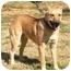 Photo 2 - Labrador Retriever/Shepherd (Unknown Type) Mix Dog for adoption in Centerton, Arkansas - Lester