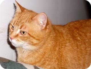 Domestic Shorthair Cat for adoption in Orillia, Ontario - Cinnamon