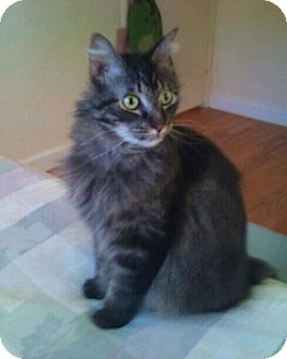 Maine Coon Cat for adoption in Modesto, California - Claude