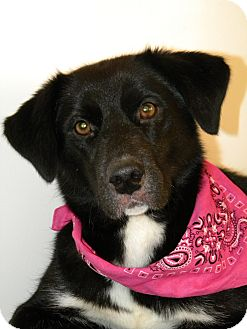 Labrador Retriever/Border Collie Mix Dog for adoption in Monteregie, Quebec - Greta