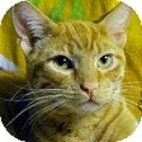 Domestic Shorthair Cat for adoption in Los Angeles, California - Lionel