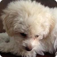 Adopt A Pet :: Bitsy - La Costa, CA