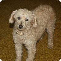 Adopt A Pet :: Lachey - Homer, NY