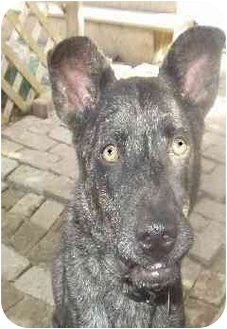 Catahoula Mix Shepherd Dog Breed http://www.adoptapet.com/pet/785755-brooklyn-ohio-catahoula-leopard-dog-mix