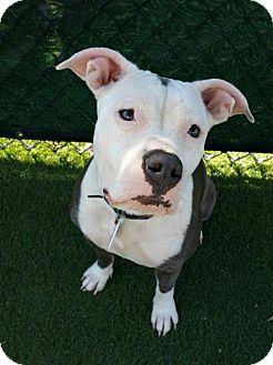 Pit Bull Terrier/American Bulldog Mix Dog for adoption in Carlsbad, California - Gidget