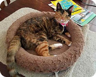Domestic Shorthair Cat for adoption in Fayetteville, Georgia - Precious