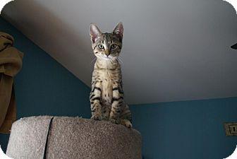 Domestic Shorthair Kitten for adoption in Naperville, Illinois - Bella