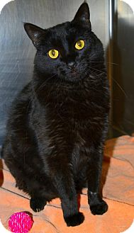 Domestic Shorthair Cat for adoption in Akron, Ohio - Elvis-front declawed