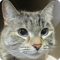 Domestic Shorthair Cat for adoption in Lloydminster, Alberta - Phoebe