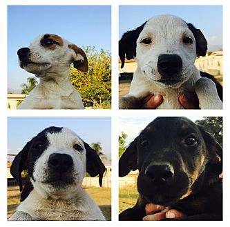 Labrador Retriever/Jack Russell Terrier Mix Puppy for adoption in Orange County, California - Babies