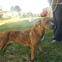 Boxer Dog for adoption in Zaleski, Ohio - Tia