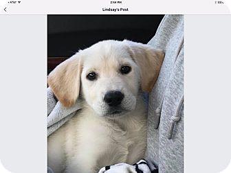 Labrador Retriever Mix Puppy for adoption in Sagaponack, New York - Taylor