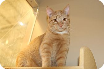 Domestic Shorthair Cat for adoption in Rochester, Minnesota - Pierre