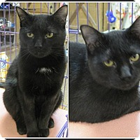 Adopt A Pet :: Bagheera - Galloway, NJ