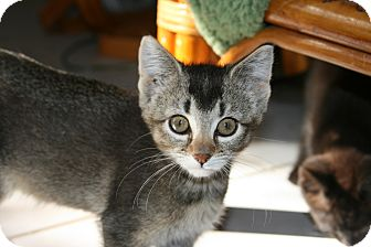 Abyssinian Kitten for adoption in Arlington, Virginia - Abby & Ambrose