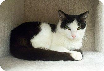 Domestic Mediumhair Cat for adoption in Fountain Hills, Arizona - MILLI