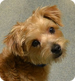 yorkie rescue missouri carter adopted puppy 800carter independence mo 4992