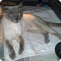 Adopt A Pet :: Hashie - Dallas, TX