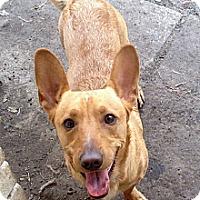 Adopt A Pet :: Cody - san Antonio, TX