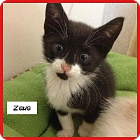 Adopt A Pet :: Zeus - Miami, FL