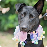 Adopt A Pet :: Scout - Kingwood, TX