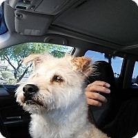 Adopt A Pet :: Chaps - Las Vegas, NV