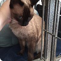 Adopt A Pet :: Siamese - North Hollywood, CA