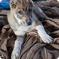 Adopt A Pet :: Stella - Iran Pup - Encino, CA